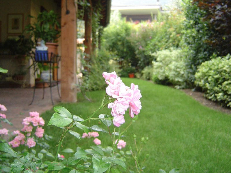 primo piano di fiori rosa