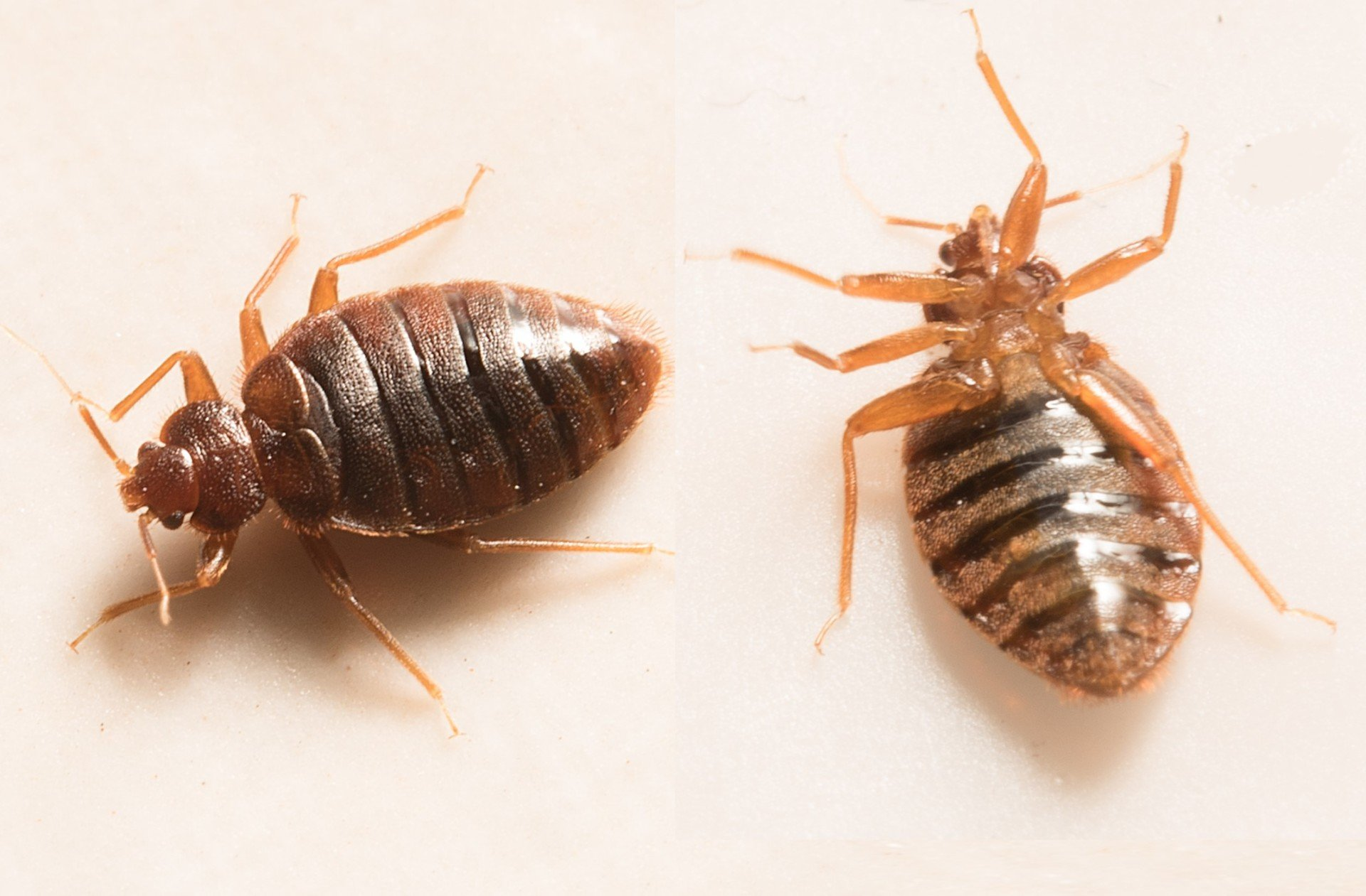 pictures of bed bugs - 800×525