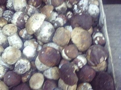 Vendita funghi porcini ingrosso