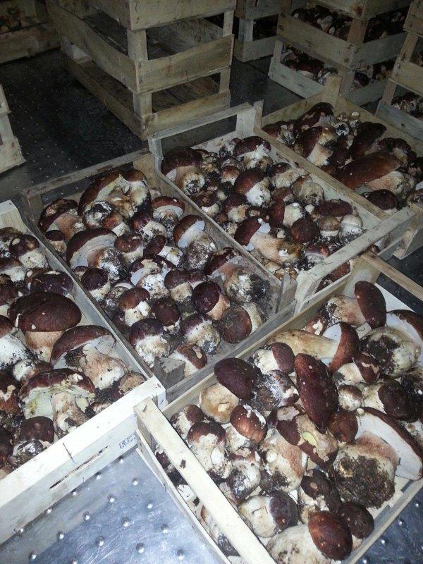 ingrosso funghi porcini vendita