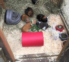 Emma's 9 Guinea Pigs