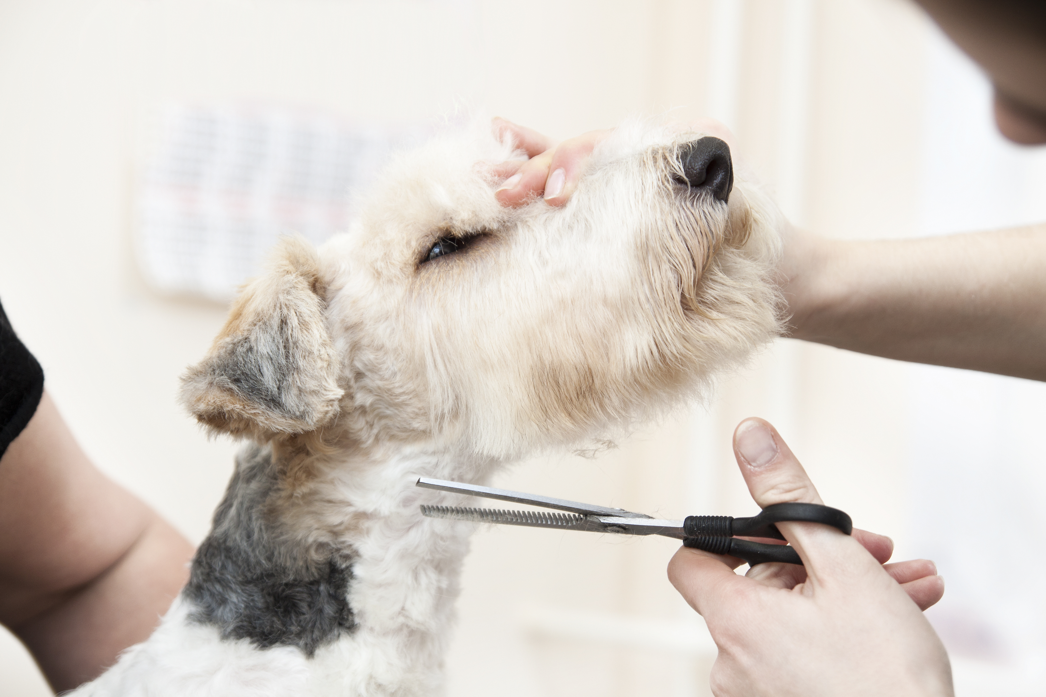 dog hair being cut