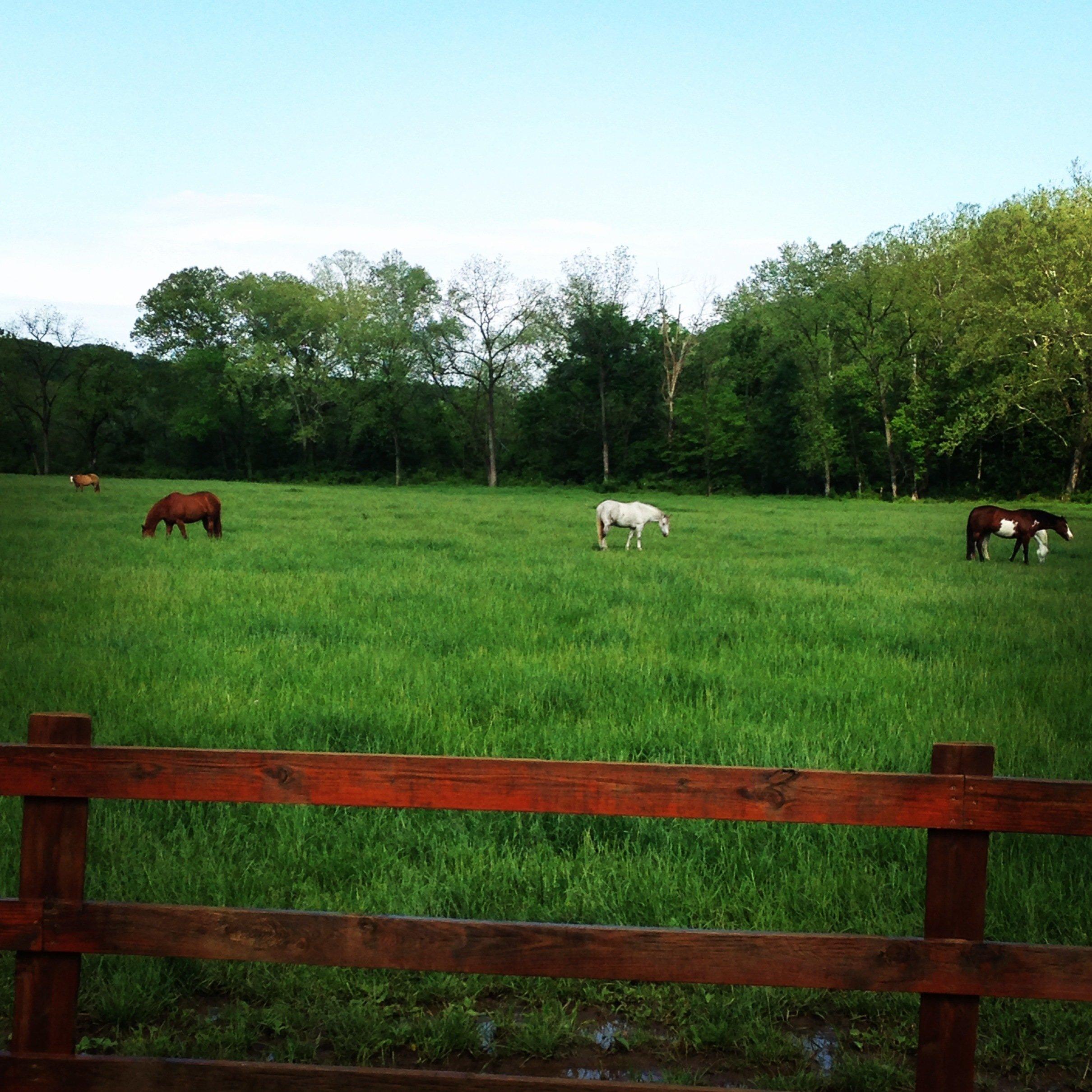 horses grazing in Foristell, MO
