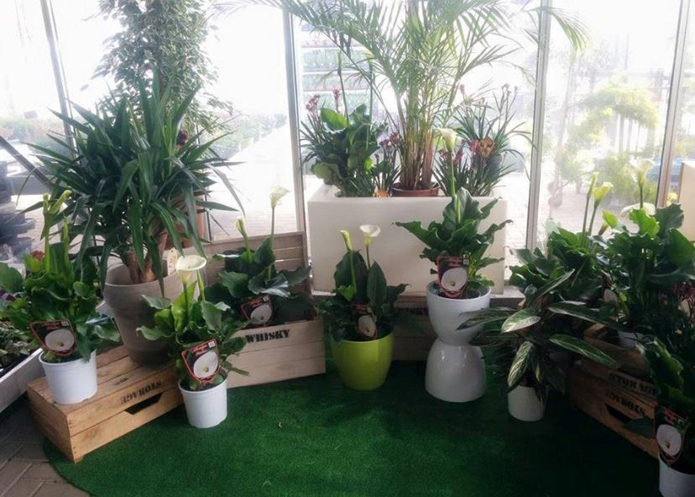 vasi di calle e piante da interno