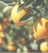 particolare di un albero di limoni