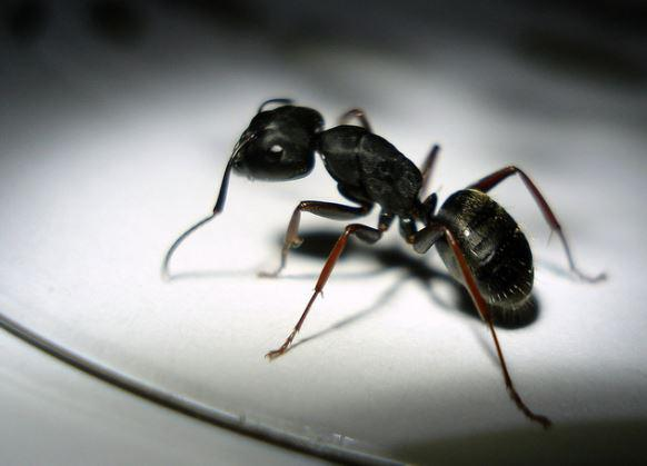 5 Ant Species That Infest Minnesota Homes In Summer