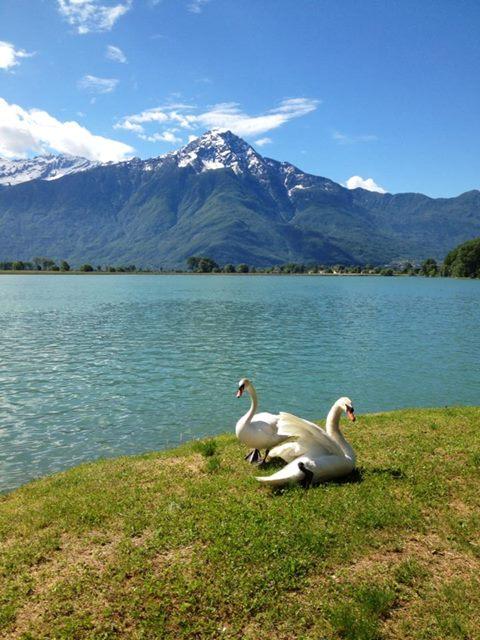 dei cigni sul prato vicino al lago