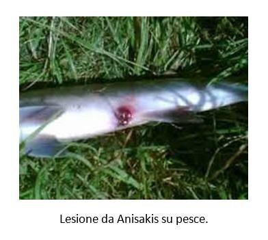 Lesione da Anisakis su pesce