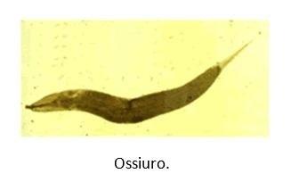 Ossiuro