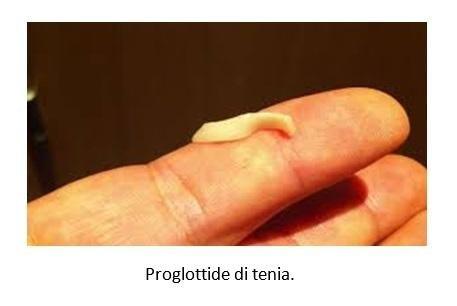 Proglottide di tenia