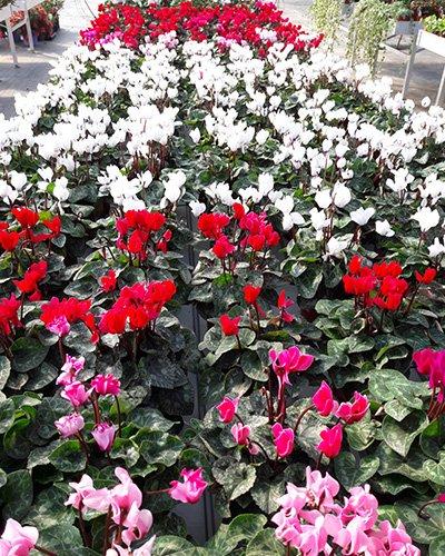 Piante da fiore al Vivaio Campo Dei Fiori a Dusino San Michele