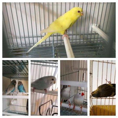 serie di immagini di pappagallini in gabbia diversi colori