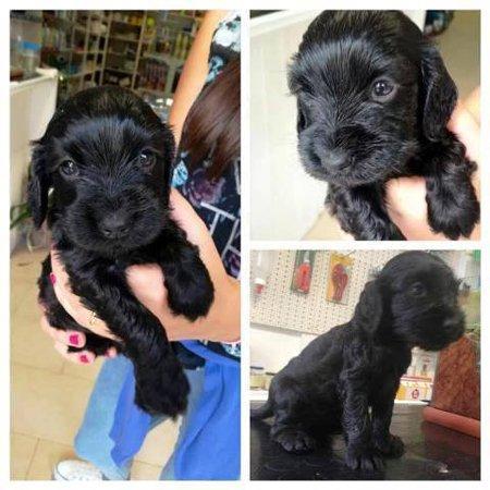 diverse immagini di cucciolo di cane nero