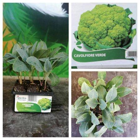 pianta di cavolfiore verde