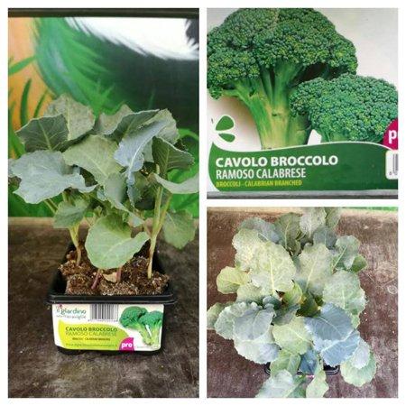 Pianta di cavolo broccolo