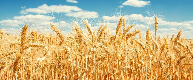 spine di grano a Modica