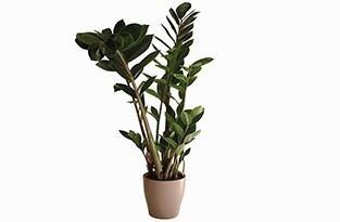 piante per interno - zamia con vaso