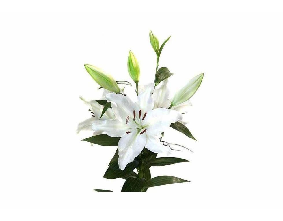 lilum asiatico bianco