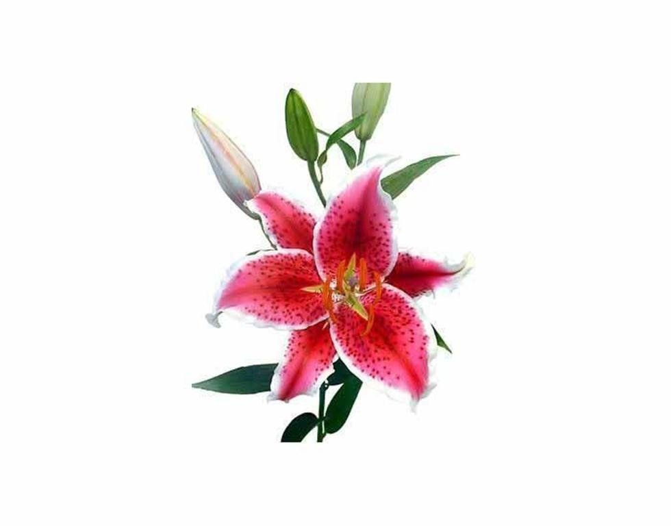 Lilium stragazer