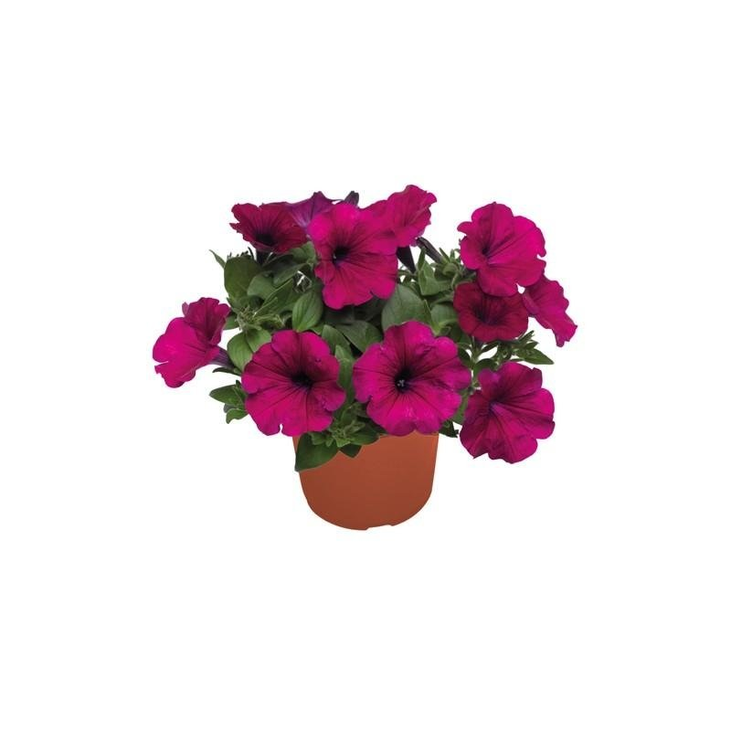 pianta per esterno petunia