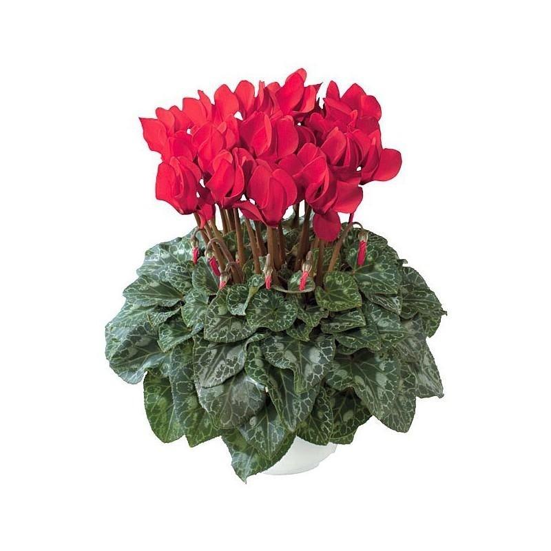 piante per esterno petunia