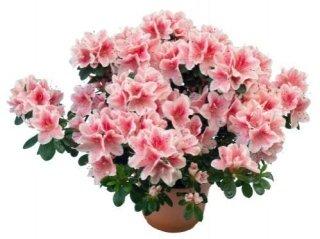 piante per esterno azalea