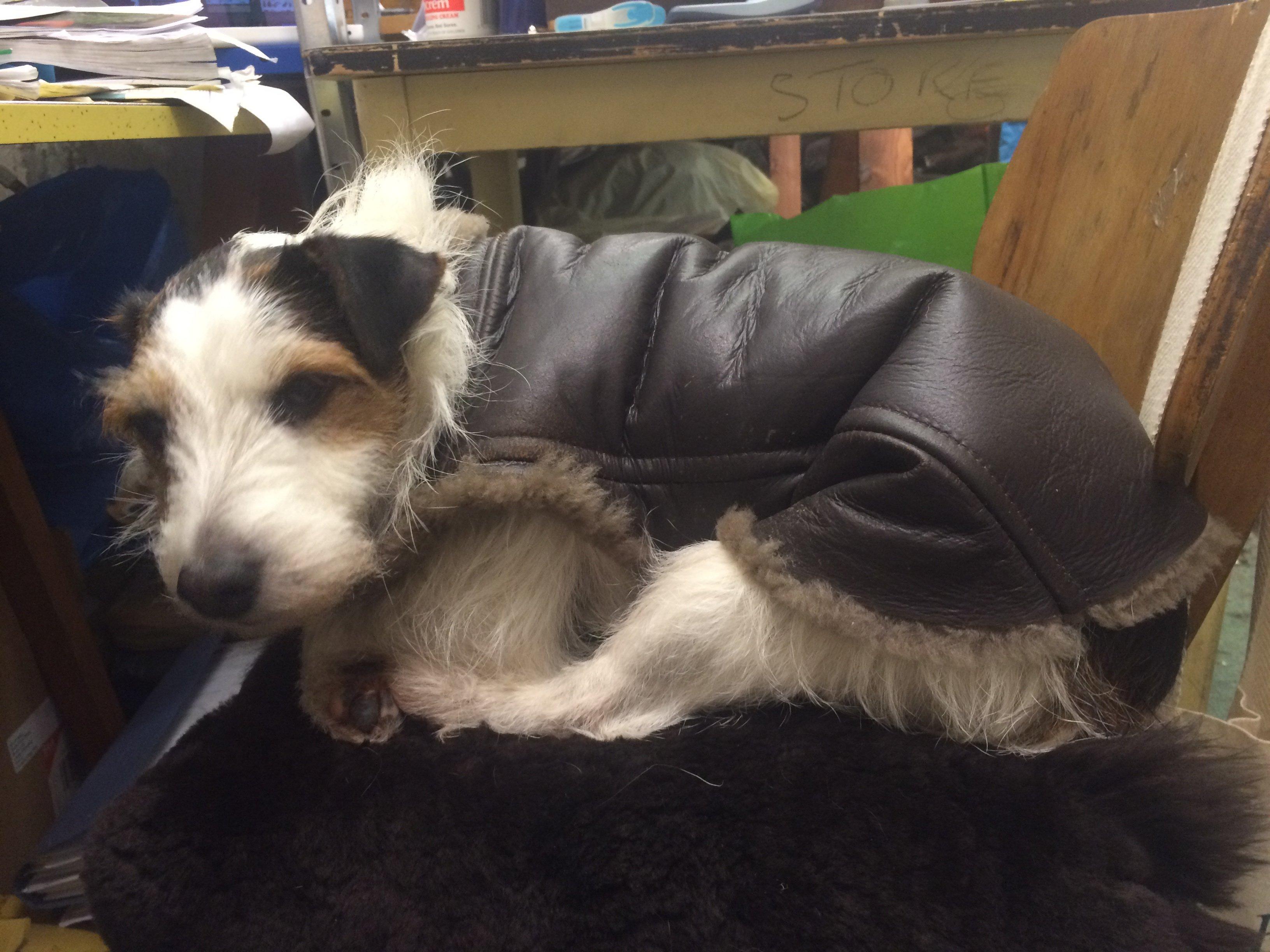 Sheepskin Dog Coat for Jack Russells .