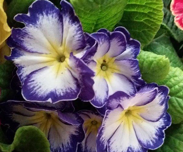 dei fiori blu,bianchi e gialli visti da vicino e le foglie
