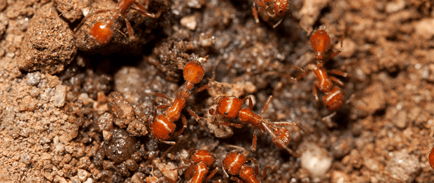 big red ants