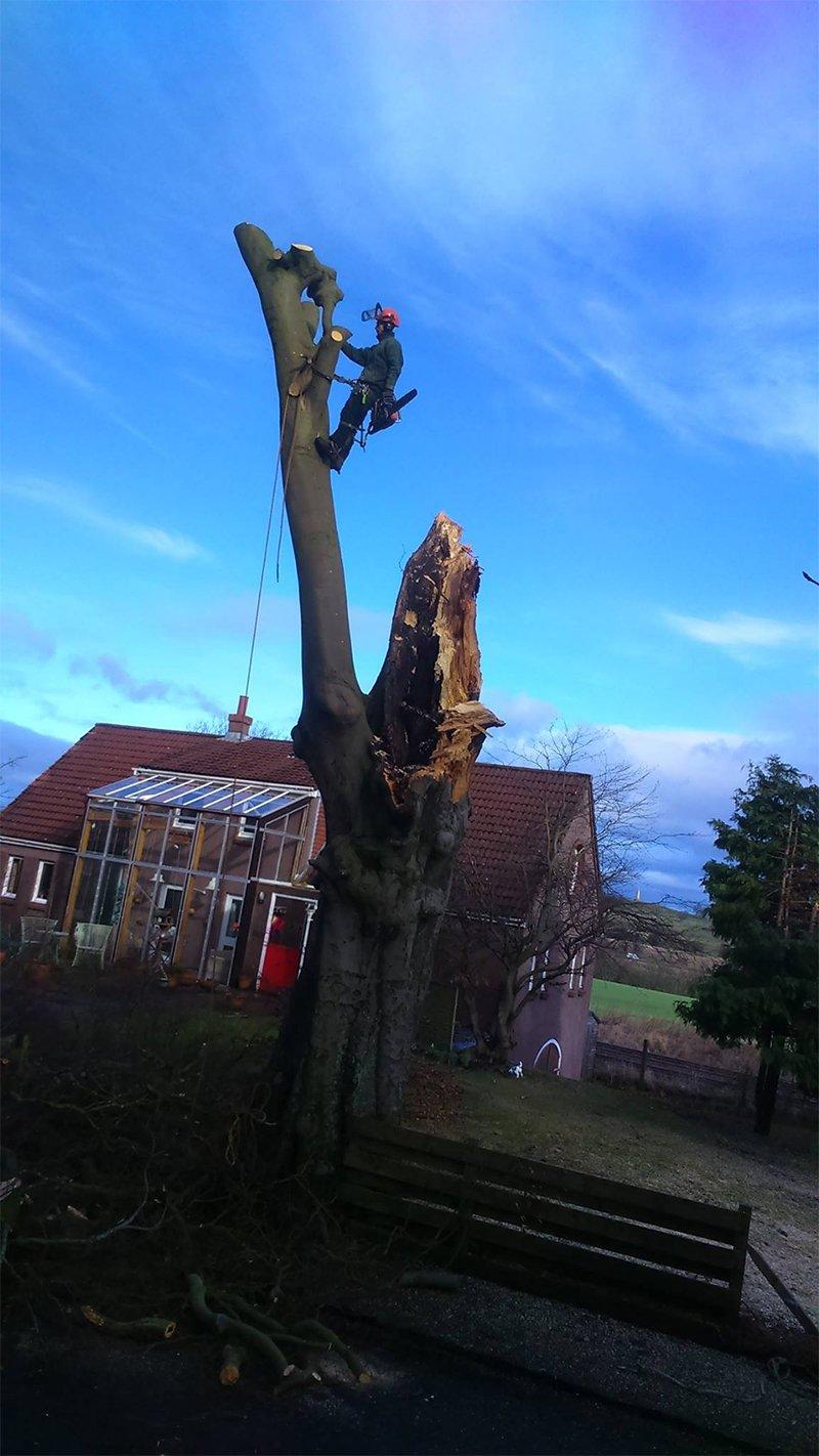 partially cut tree