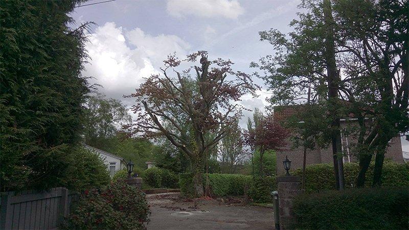 tree for felling