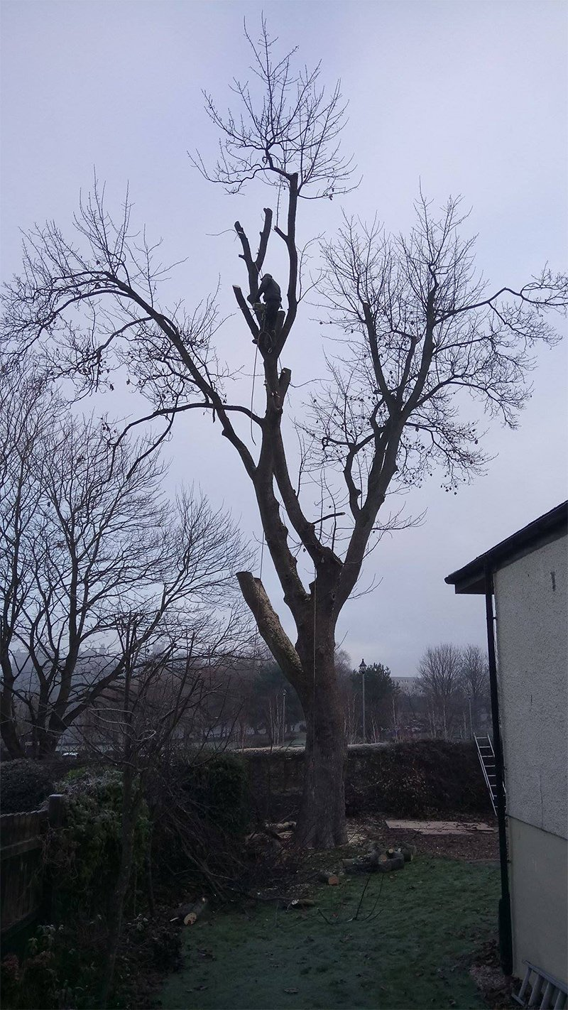 tree after branch cutting