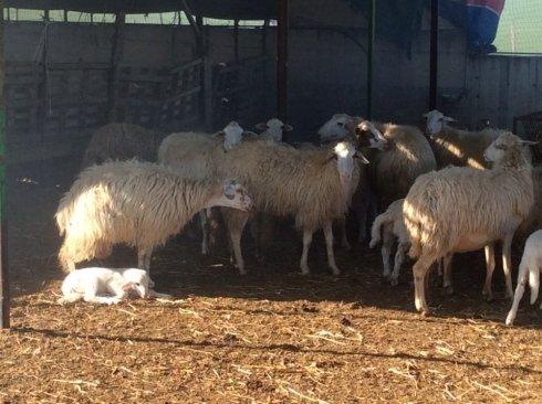 allevamento ovino