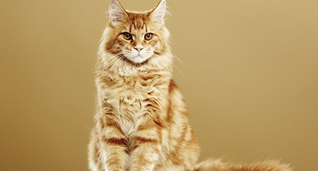 Maine coon cat sat on the floor