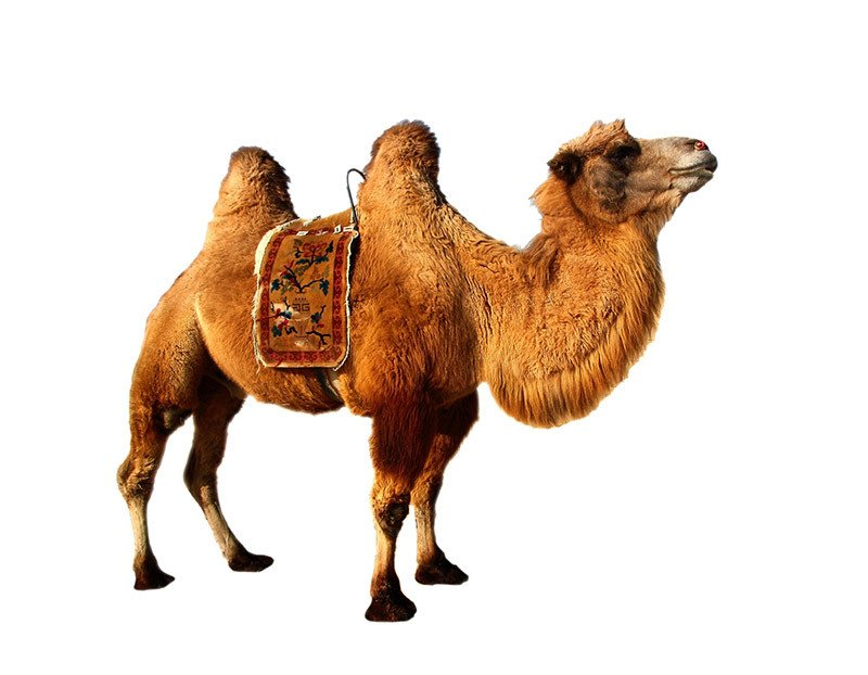 Camel prop standee