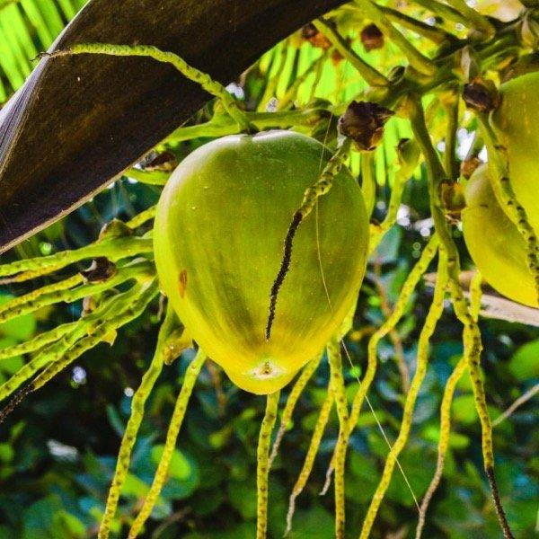 Boutique Hotel Tulum Mexico - Fresh Coconuts