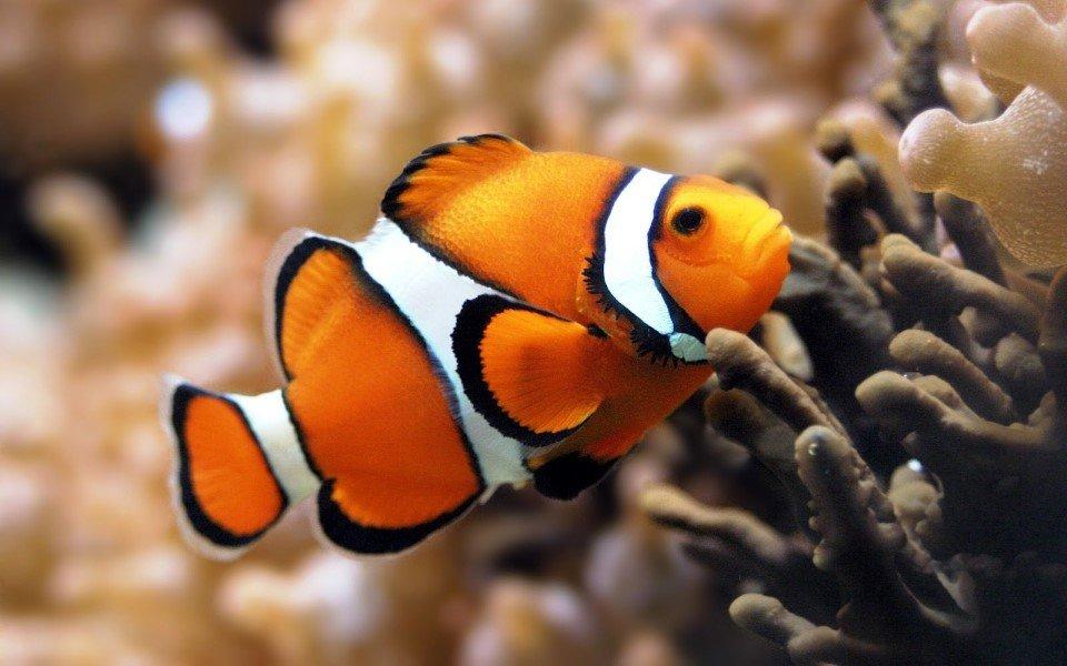 pesce pagliaccio in acquario