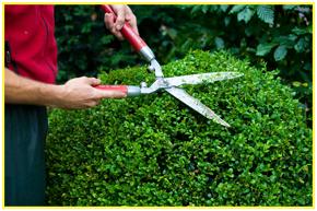 Male gardener trimming a bush