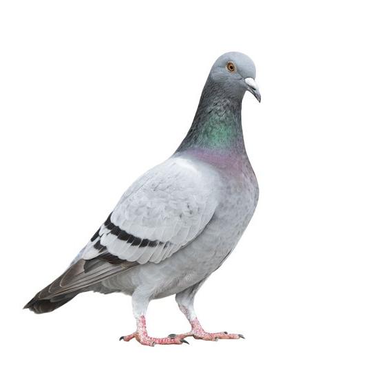 Pigeon Control   Stewarts Pest Control