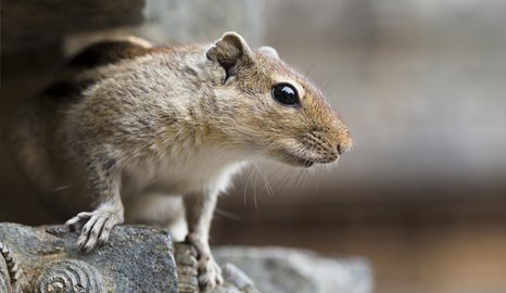 How to get rid of mice and squirrels in wirral so why go with pestoclear ccuart Image collections
