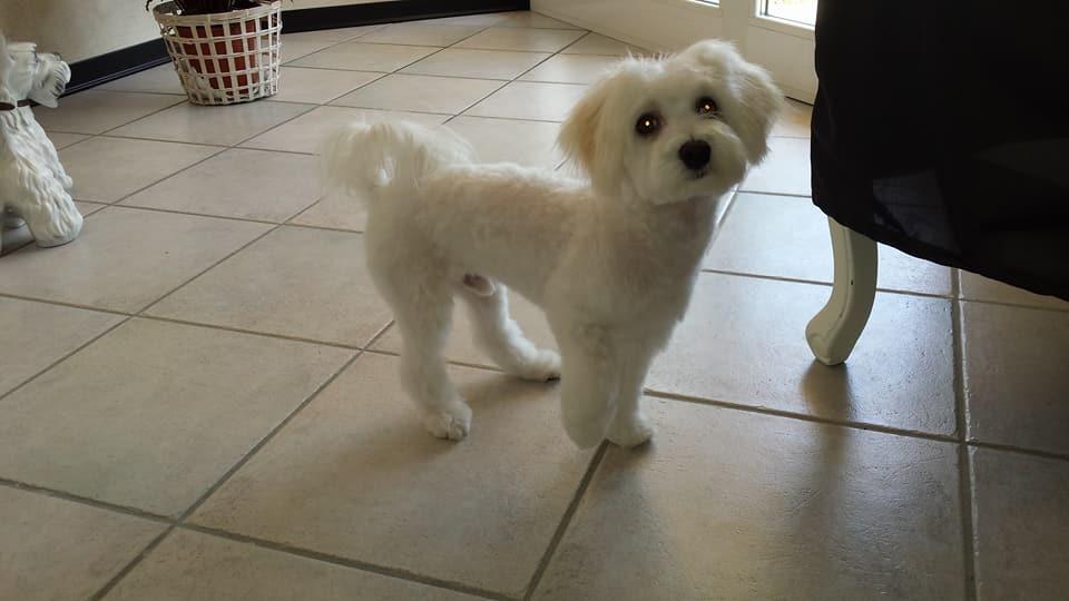 cane bianco di piccola taglia in una stanza