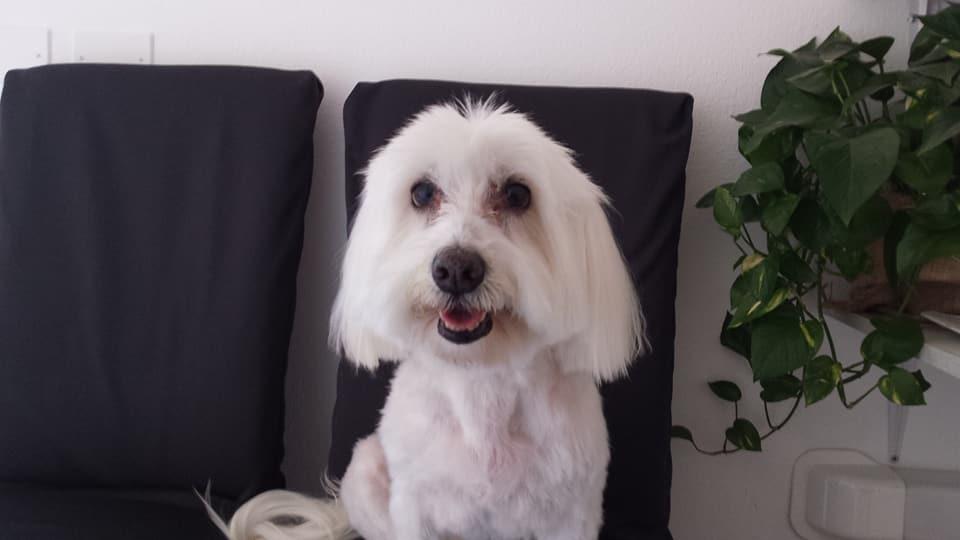 cane bianco con pelo ed orecchie lunghe