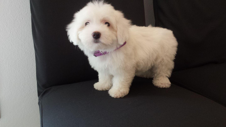 cane bianco di piccola taglia a pelo riccio