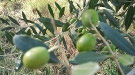 raccolta delle olive a mano