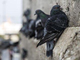 Malattie piccioni