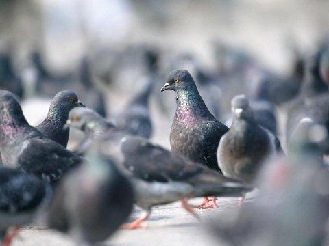 Dissuasione piccioni