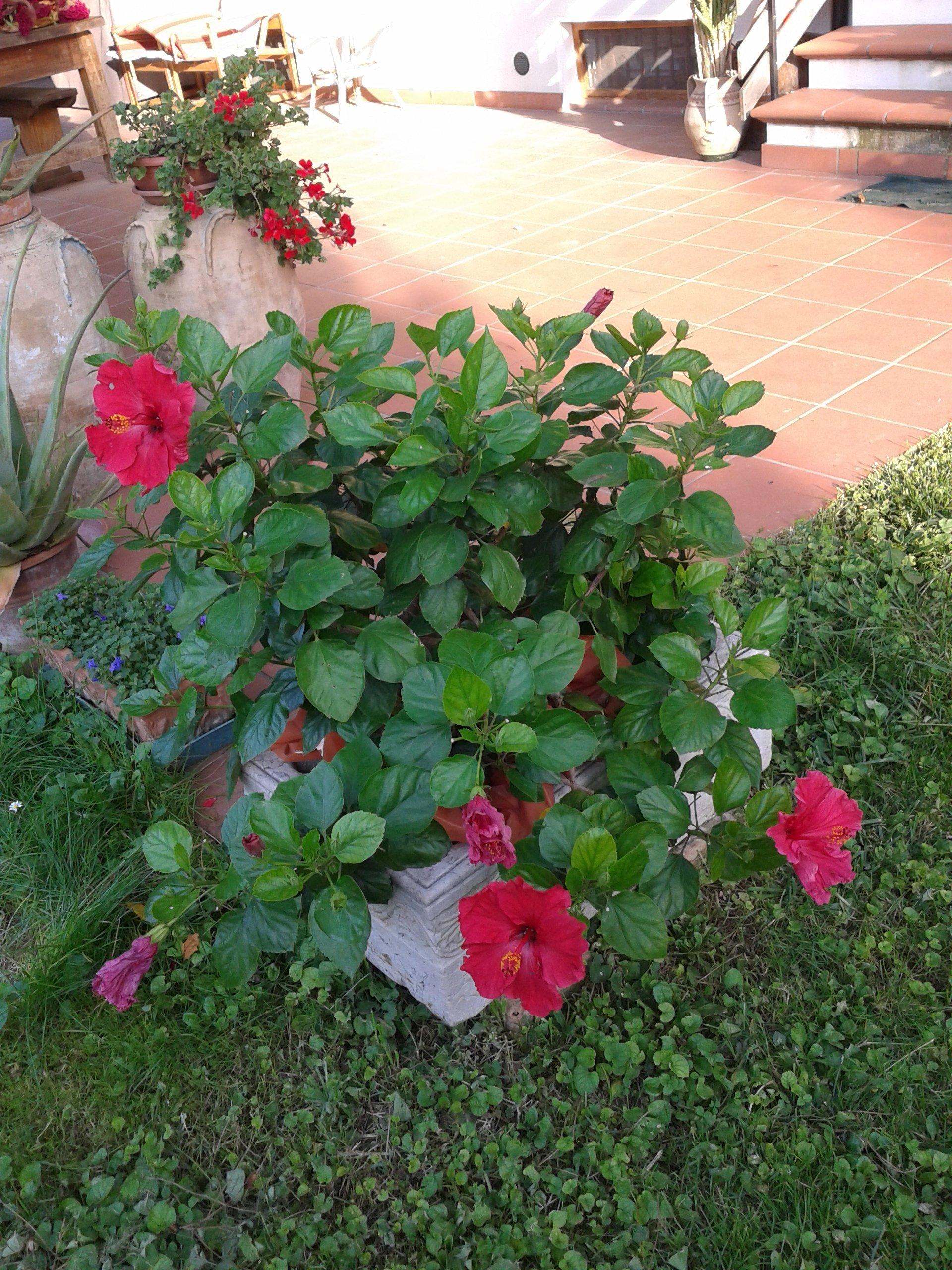 pianta di hibiscus