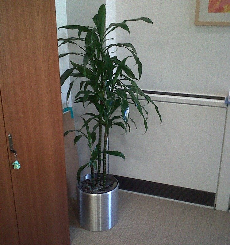 Large interior plants in West London