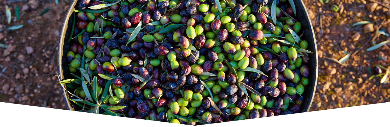 Cesta piena di olive