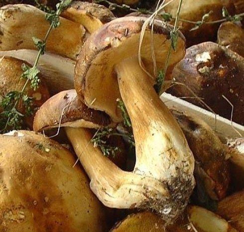 Funghi Porcini delle foreste casentinesi